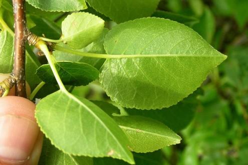 čerešňa mahalebková - spodná strana