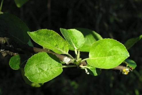 jabloň planá - vetvička s listami