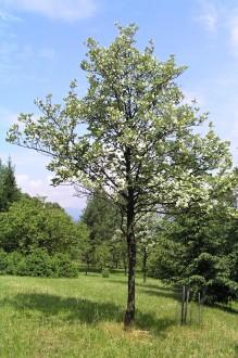 jarabina mukyňová (Arborétum Borová hora)
