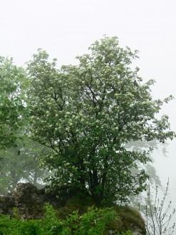 jarabina mukyňová (hradné bralo hradu Muráň)