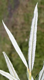 vŕba sivá - spodná strana (okraje zo spodu podvinuté)