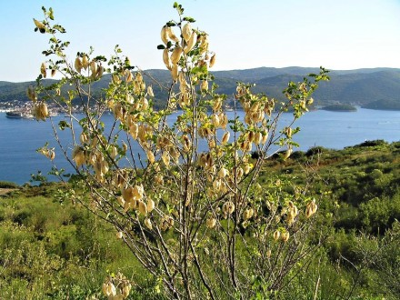 mechúrnik stromovitý (Chorvátsko - Kučište)
