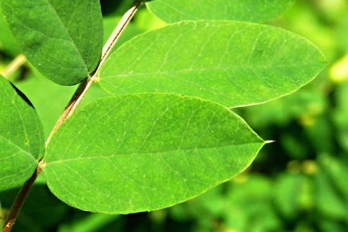 karagana stromovitá - jednotlivé listy