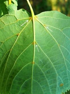 lipa malolistá - v pazuchách žíl na rube sú chumáčiky hrdzavých chĺpkov