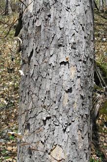 javor horský - borka (nepravidelné oválne útvary)