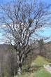 javor horský - neďaleko od Chaty Zámok pod Muránskym hradom (4/2007)