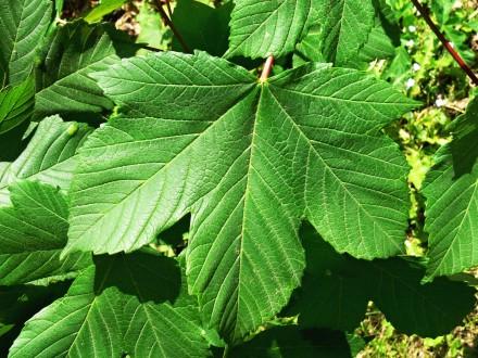 javor horský - vrchná strana (dlaňovito laločnatý list)