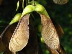 javor horský - krídlaté dvojnažky zrastené pod ostrým uhlom