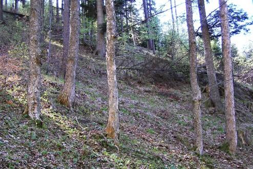 javor horský - ako melioračná drevina