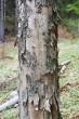 javor horský - borka