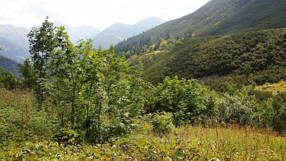 javor horský - Tomanová dolina (cca 1 460 m n. m.)
