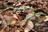 javor horský - semenáčiky