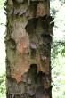 javor horský - borka (nepravidelné veľké platne)