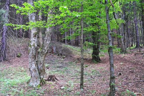 javor horský na suťovisku v závere doliny