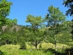 javor horský - Tichá dolina (cca 1 300 m n. m.)