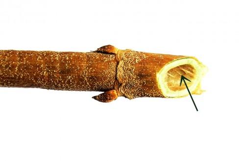 trojpuk drsný - stržeň je hrdzavý