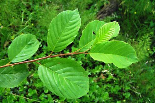 krušina jelšová - vetvička s listami