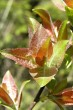 vŕba sliezka - vetvička s mladými listami