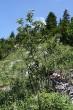 rešetliak prečisťujúci - Bobrovecká vápenica