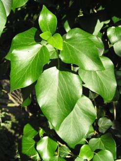 brečtan popínavý - tvar listov na kvitnúcich výhonkoch
