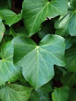 brečtan popínavý - tvar listov na nekvitnúcich výhonkoch