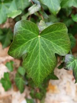 brečtan popínavý - tvar listu na nekvitnúcich výhonkoch