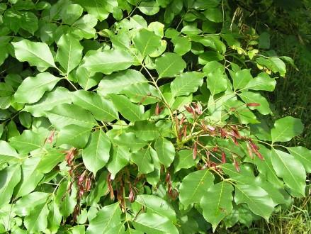 jaseň manový - vetvička s listami