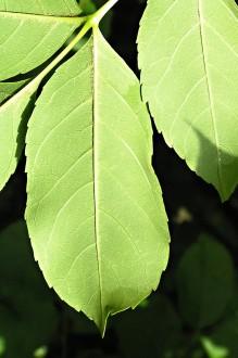 jaseň manový - spodná strana (na strednej žile a v pazuchách žíl bielo plstnatá)