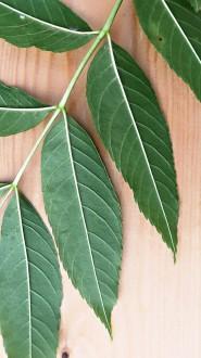 jaseň štíhly - jednotlivé listy (spodná strana)