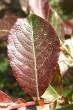 vŕba sliezka - vrchná strana - mladý list