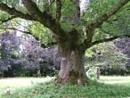 jaseň štíhly - borka