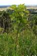 jarabina brekyňová (Devínska Kobyla)