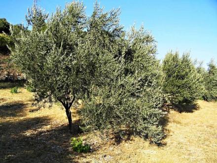 oliva európska - olivový háj na produkciu olív