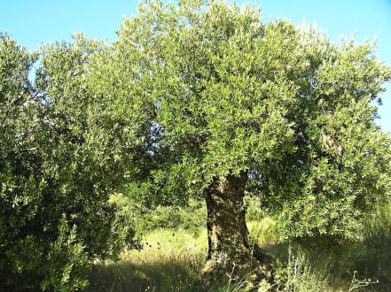 oliva európska