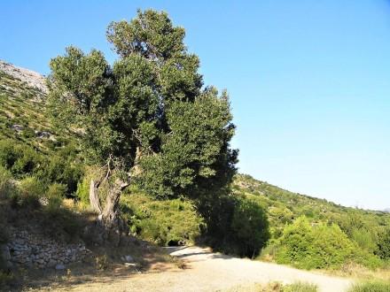oliva európska (Chorvátsko - Kučište)