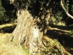 oliva európska - borka
