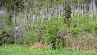 baza červená na okrajii lesa zasiahnutého vetrovou a následne podkôrnikovou kalamitou (Tichá dolina)
