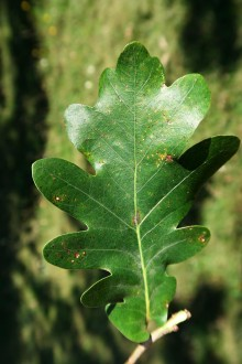 dub sivý - vrchná strana