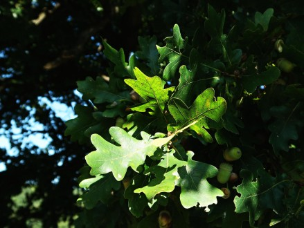 dub sivý - vetvička s listami