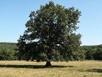 dub sivý (Cibajky)