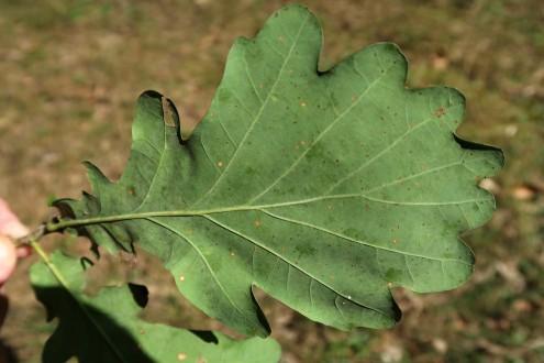 dub sivý - spodná strana