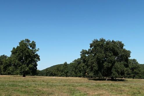 dub sivý - dubový háj Cibajky (Ponitrie)