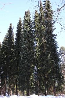 smrek omorikový - Arborétum Liptovský Hrádok