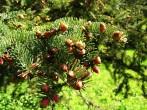 smrek omorikový - samčie šištice