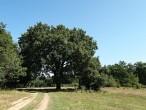 dub cerový - Cibajky