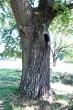 dub cerový - borka