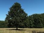 dub cerový (Cibajky)