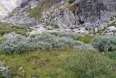 vŕba švajčiarska