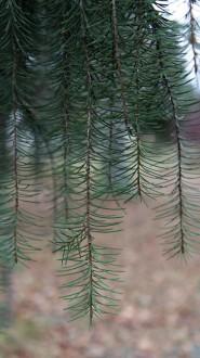 smrek kalifornský (z hlavných konárov prevísajú hrebeňovito nadol mäkké konáre vyšších rádov)
