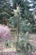 smrek kalifornský (Arborétum Liptovský Hrádok)